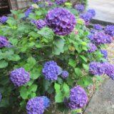 6月の工房はあじさいの花盛り